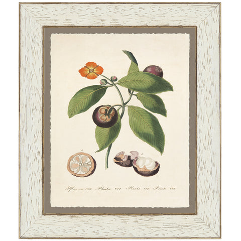 Magosteen Botanical Print by Bertuch, 1790