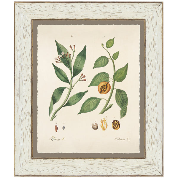Nutmeg Botanical Print by Bertuch, 1790