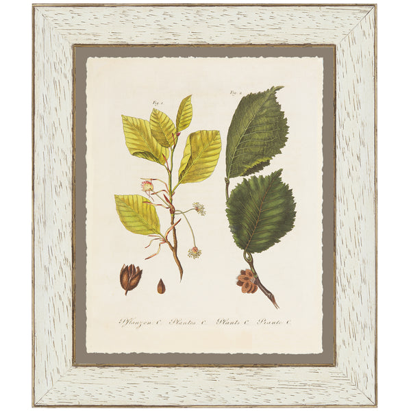 Field Elm Botanical Print by Bertuch, 1790
