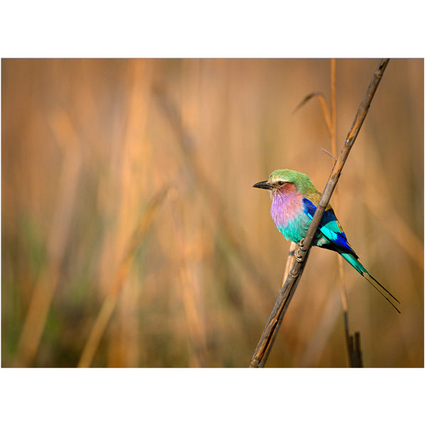 """Lilac Roller on Reed"" by Greg Ferguson"