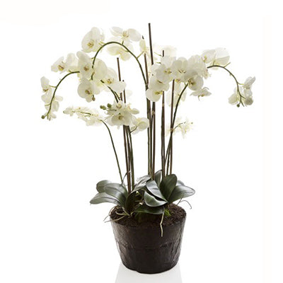 Phalaenopsis in Paper Pot