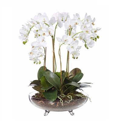 Phalaenopsis in Footed Glass