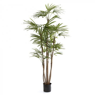 Honey Lady Palm 120cm