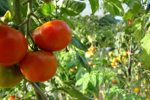 "Tomatoes were called ""love apples"" when they were first introduced to North America."