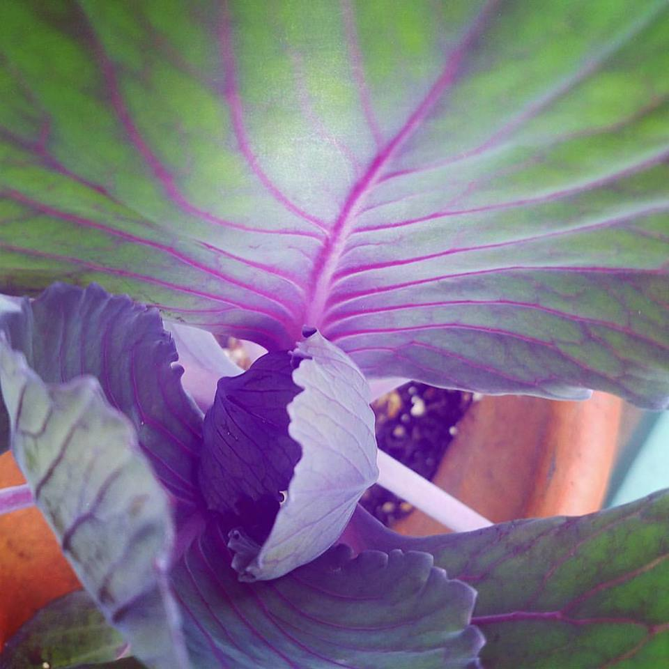 Grow Your Own Red Cabbage