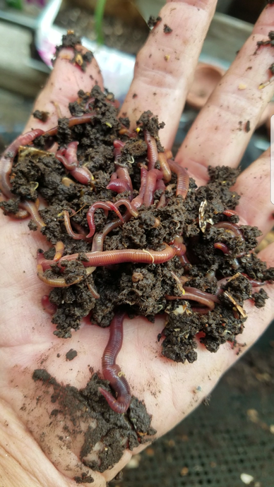Red Wriggler Earth Worms