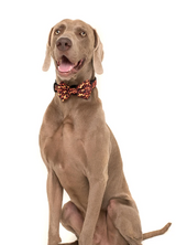 "Big and Little Dogs - ""Too hot to handle"" dog collar and bow tie"