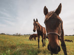 Close Up Baby Horses - Matted Prints