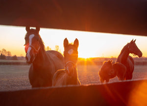 Sunrise in Horse Country - Matted Prints