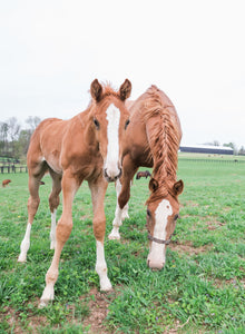 Curious colt  - Matted Prints
