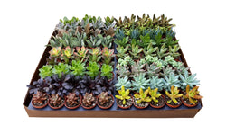 2 inch Growers Choice Succulent Selection
