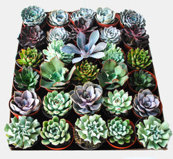4 inch Growers Choice Succulent  Selection