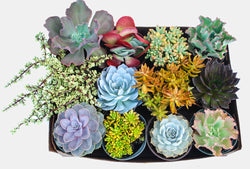 6 inch Growers Choice Succulent Selection