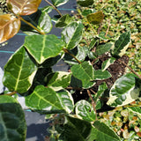 Closeup of 4 inch bronze beauty minima jasmine plant leaves