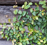 Creeping Fig GREEN (Ficus pumila) Wall Cover Plant