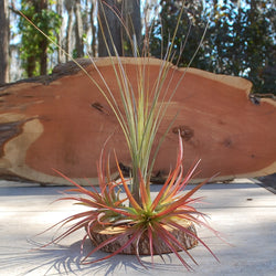 Tillandsia Selection Premium Large Growers Choice