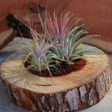 Tillandsia Selection Small Growers Choice
