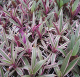 Tradescantia spathacea Tricolor Oyster Plant Variegated Dwarf