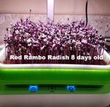 Red Rambo Microgreens Day 8 in MicroTray and Micro Farm