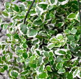 Creeping Fig Variegated (Ficus pumila) Wall Cover Plant