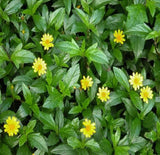 "Wedelia ""Golden Oxeye"" Groundcover Plant"