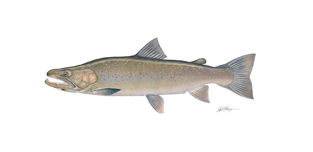 Bull Trout Sticker,Tyes Art,Confluence Fly Shop-Confluence Fly Shop