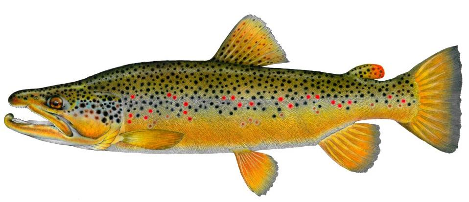 Brown Trout Sticker,Tyes Art,Confluence Fly Shop-Confluence Fly Shop