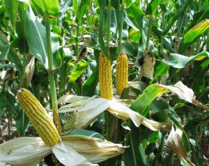 Corn Growth