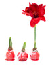 Wax Dipped Amaryllis Bulbs + GROW JOY Hang Tags (Set of 3)