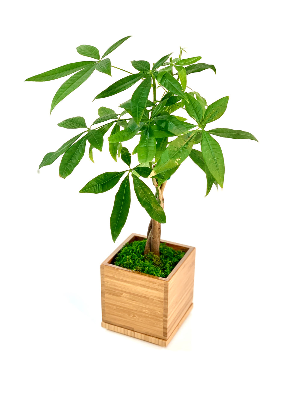 Money Tree in Bamboo Planter
