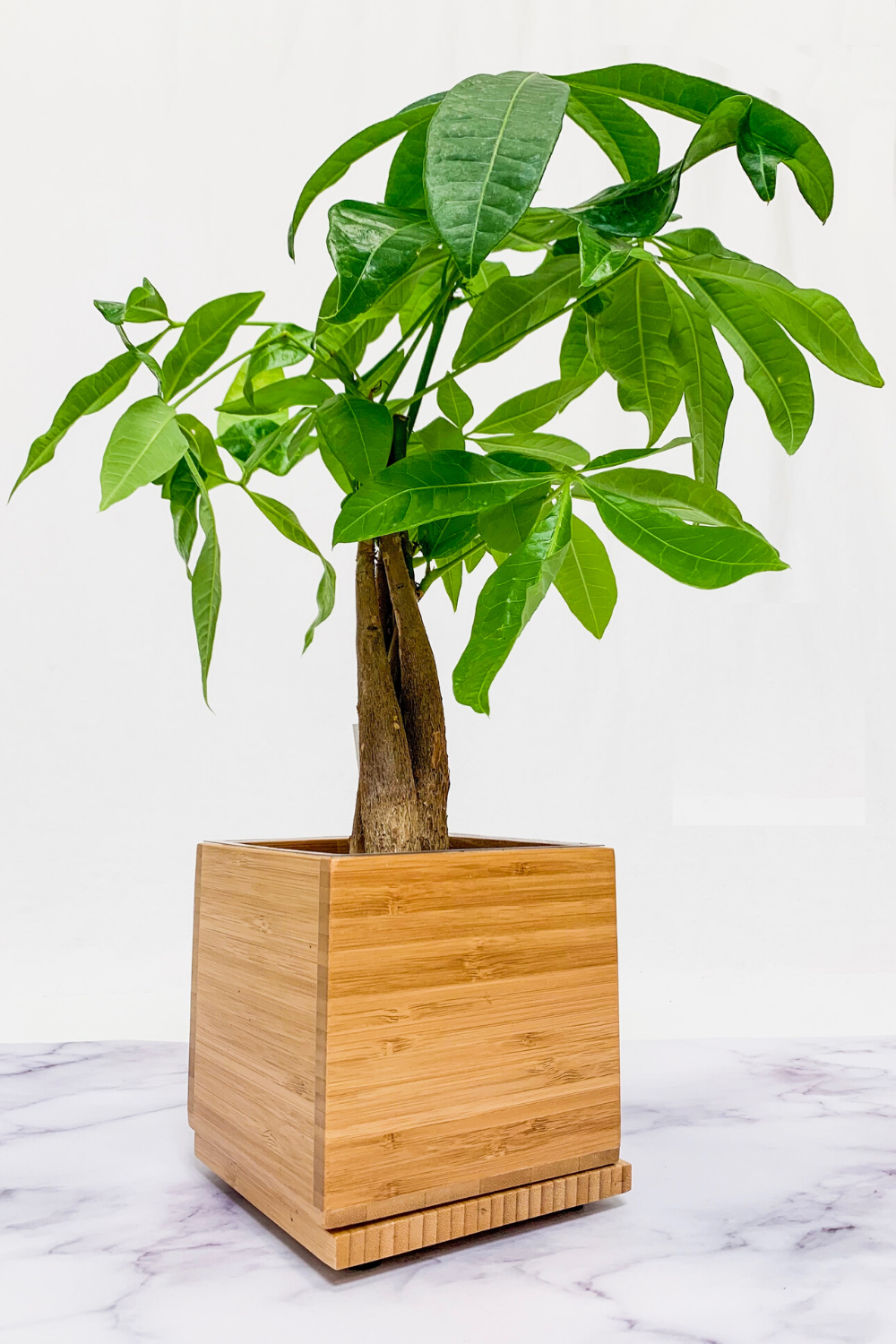Premium Money Tree in Bamboo Planter