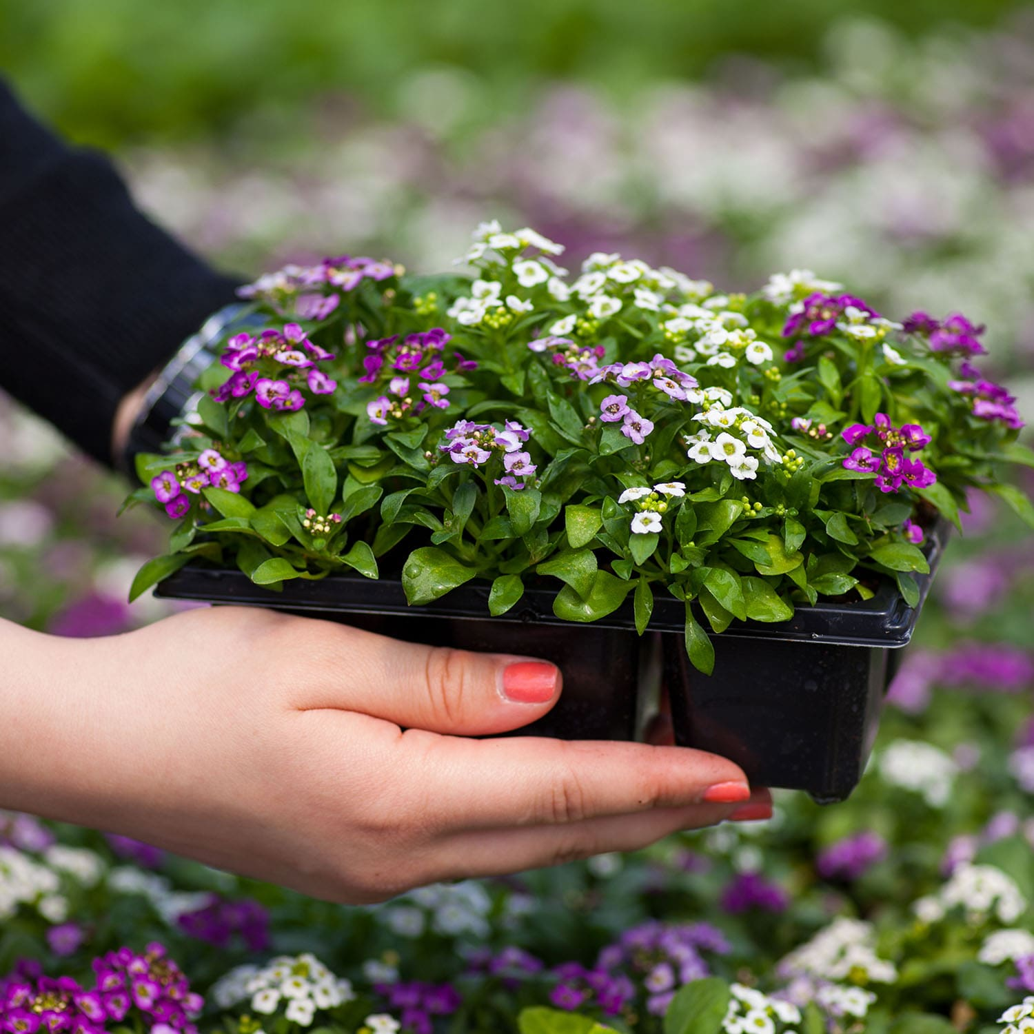Pack Of Alyssum Flowers In Orange County