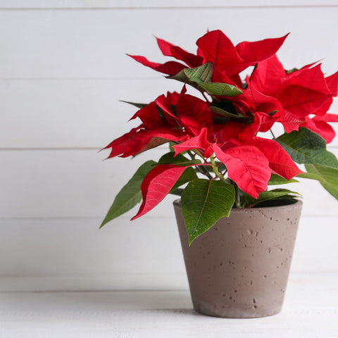 Poinsettia In Pottery Planter