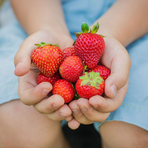 Child Hands Holding Fresh Picked Strawberries From Southern California Garden