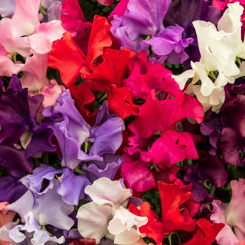 Multi Colored Sweet Peas At Outdoor Plant Boutique