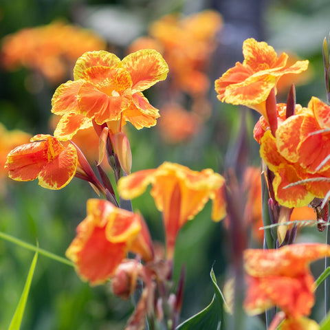 Yellow & Orange Variegated Cannas Flowers At An Outdoor Plant Nursery
