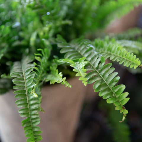 Asparagus Fern Landscaping Plant Southern California