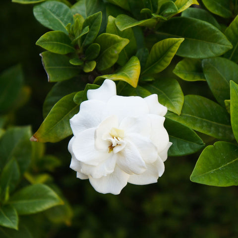 Fragrant White California Gardenia Plant