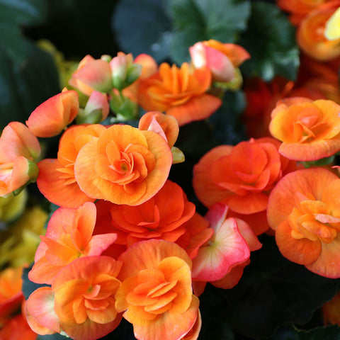 Orange Begonias At Plant Nurseries Orange County CA