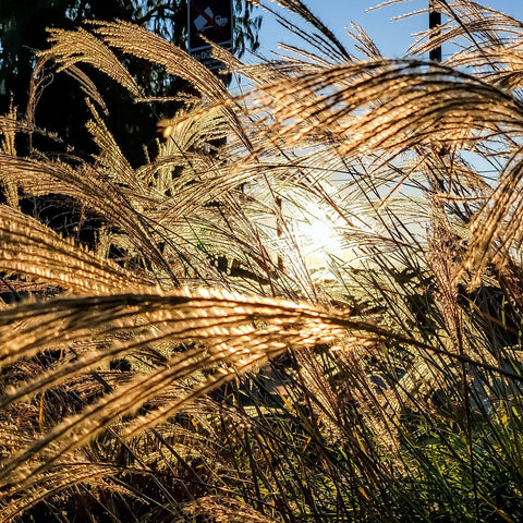 Ornamental Grasses In Southern California Garden