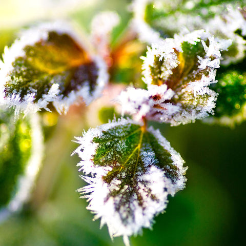Frost Covering Leaves Of A Hardy Rose Bush
