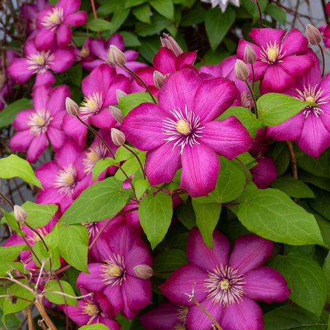 Purple Flowering Southern California Clematis Plant