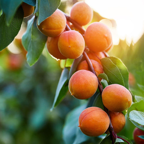 Apricot Tree At Orange County Plant Nursery