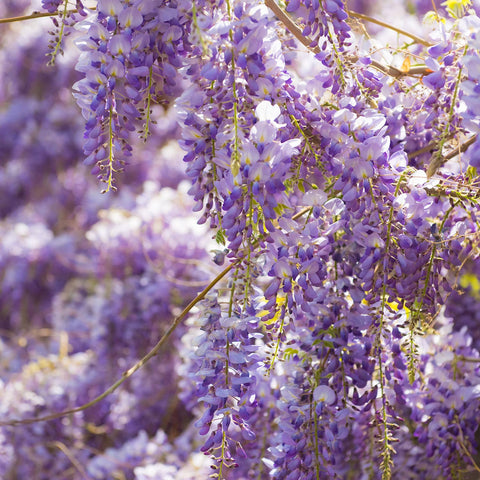 Blooming Wisteria At Orange County Nursery