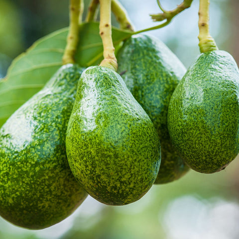 Southern California Avocados On Tree