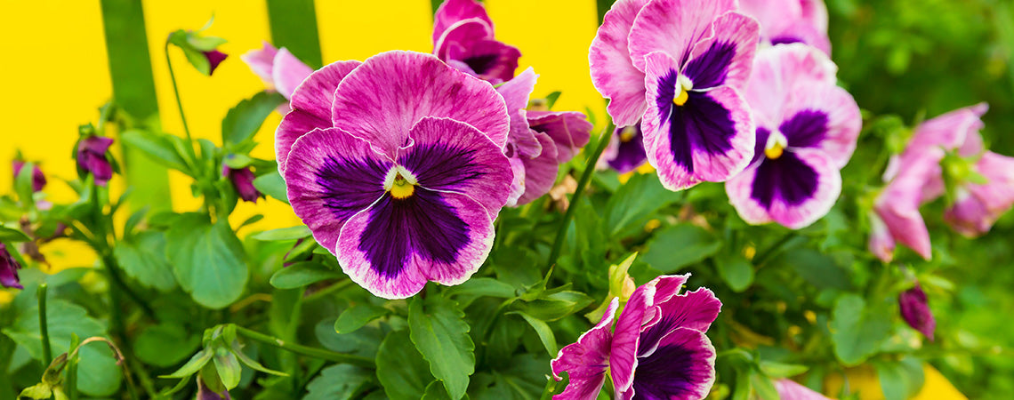 How to Decorate with Pansies and Violas