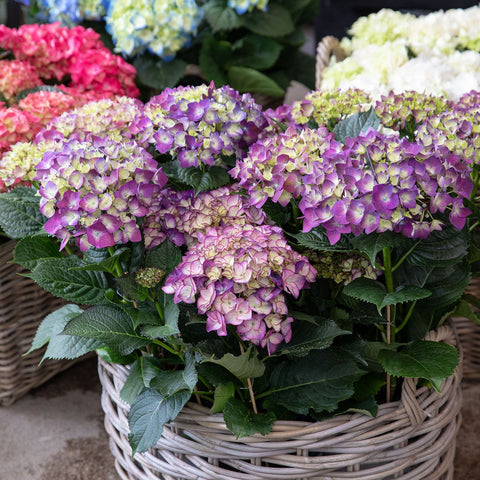 Hydrangeas In Modern Indoor & Outdoor Planter