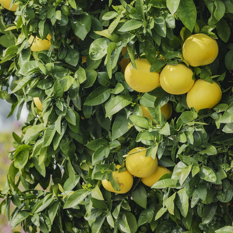 Citrus Tree At Plant & Garden Store