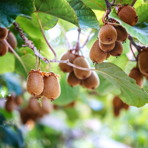 Kiwi Fruit On Tree Outdoor Plant Nursery