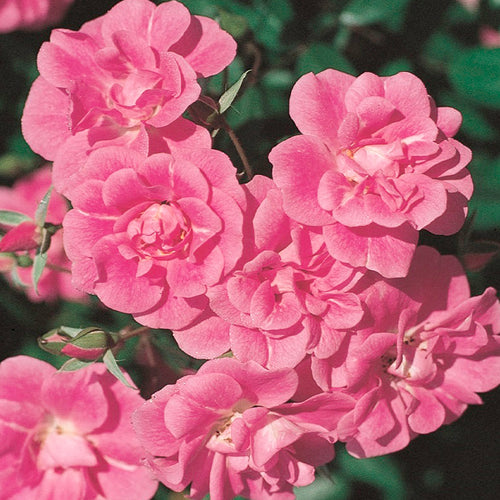 China Doll Rose Tree